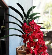 Red Elephant Orchid